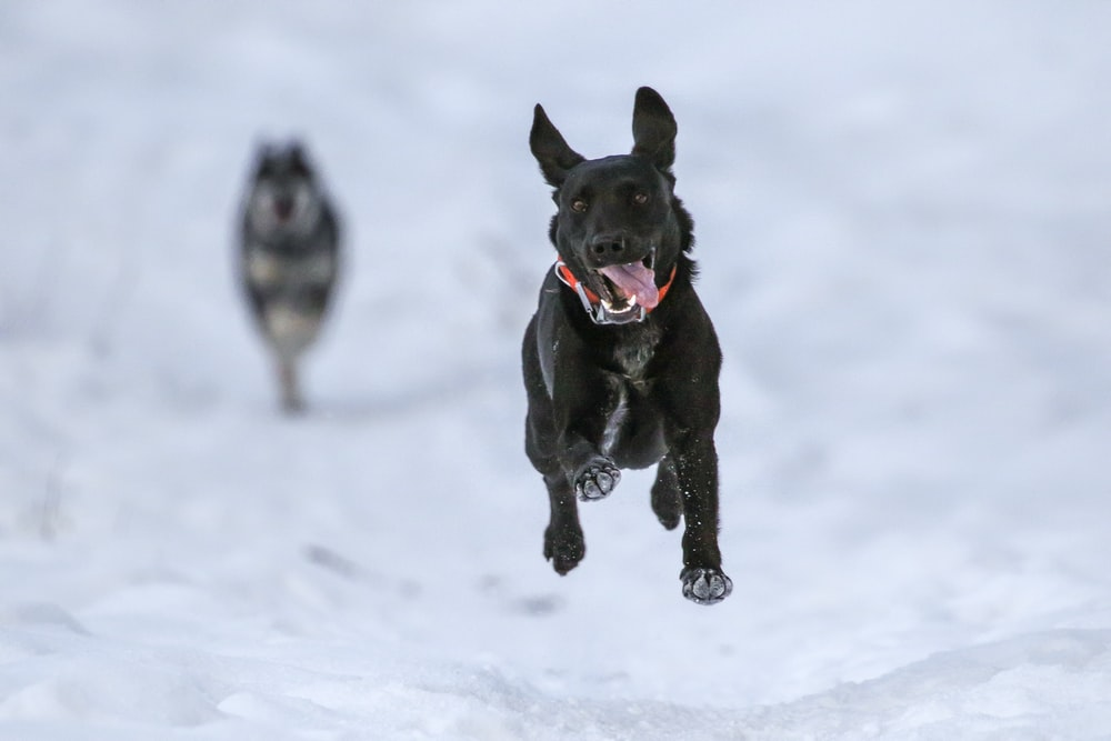 short-coated black dog running through snow sticking out its tongue