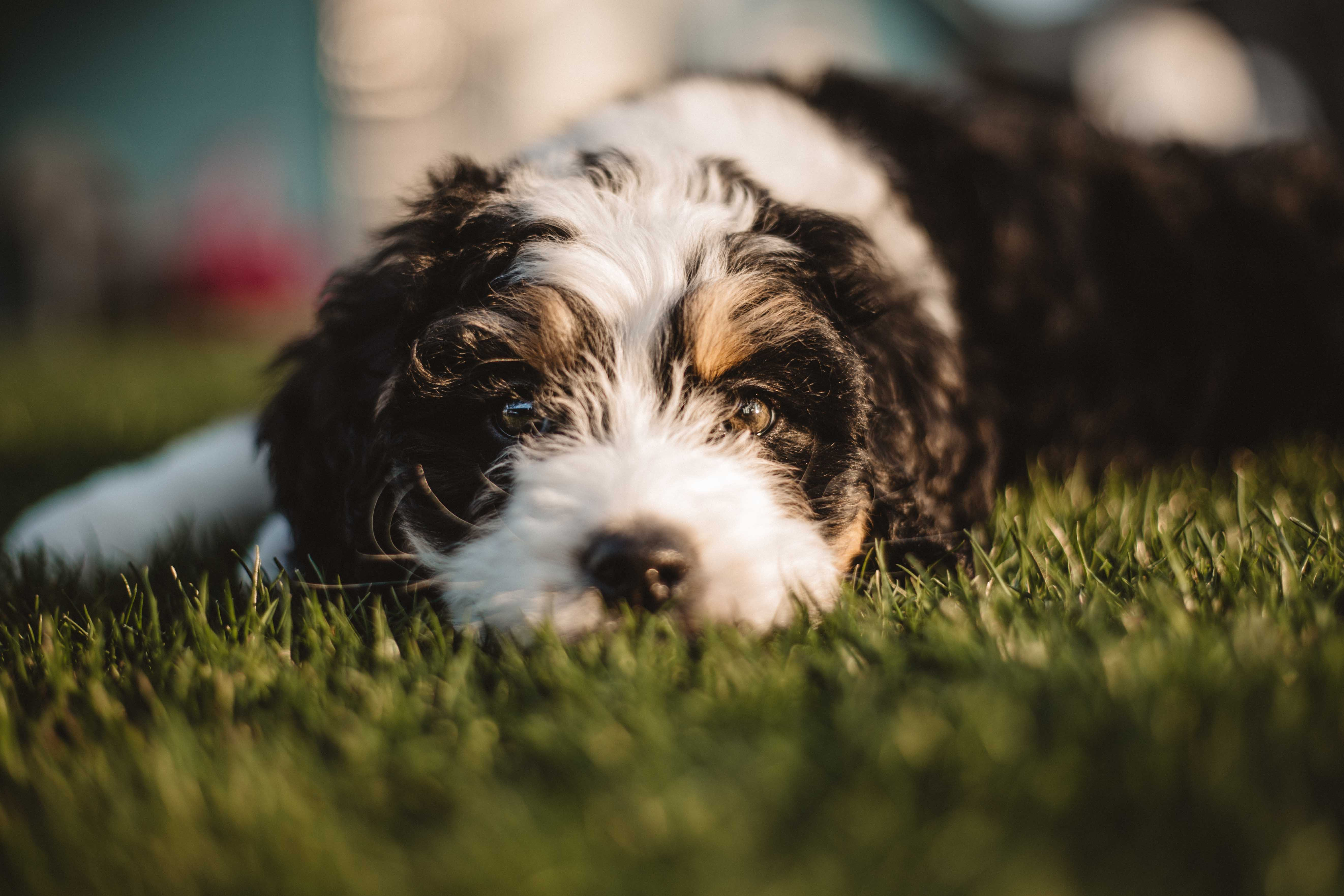 wirehaired brown and white dog lying on grass