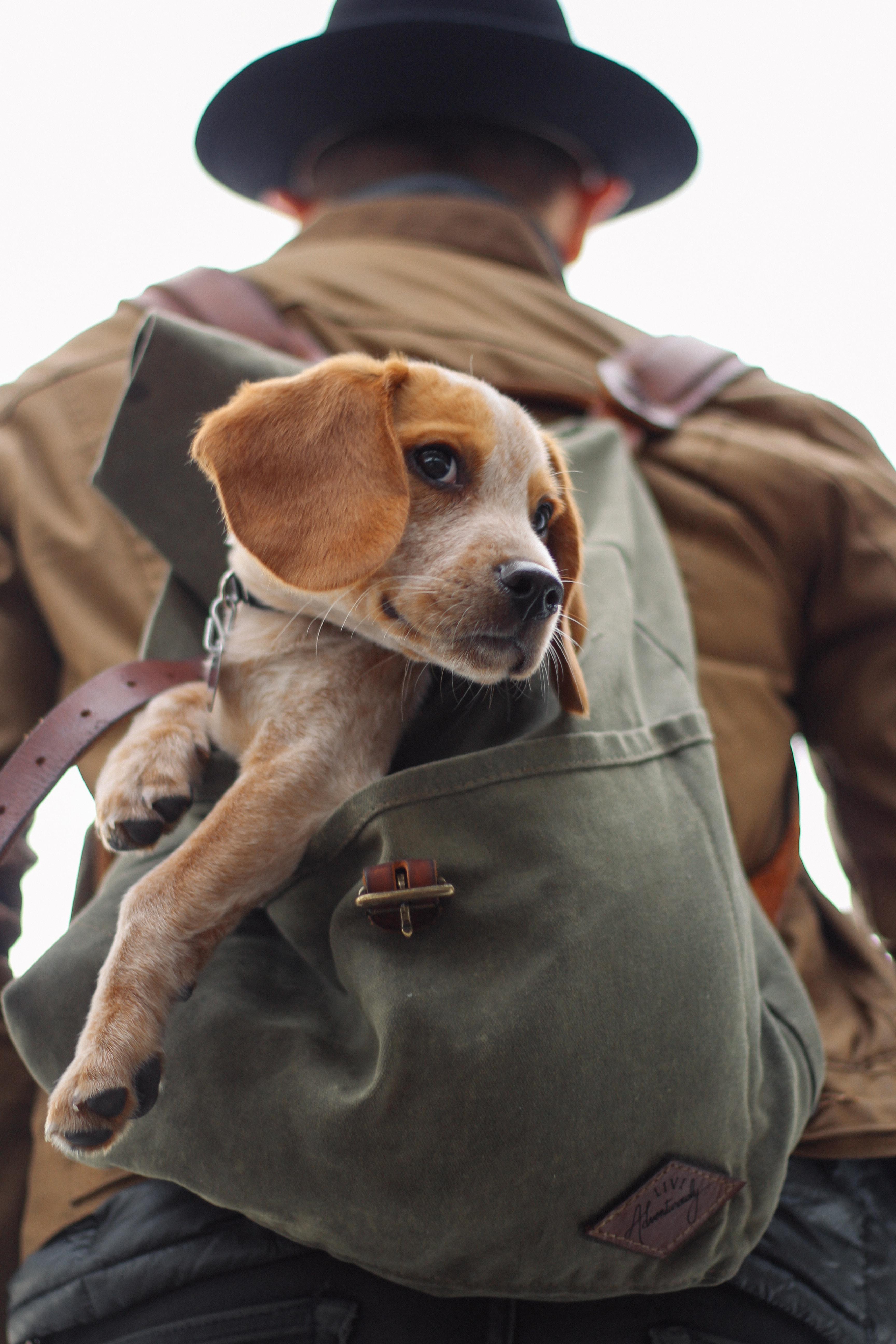 brown beagle in bag