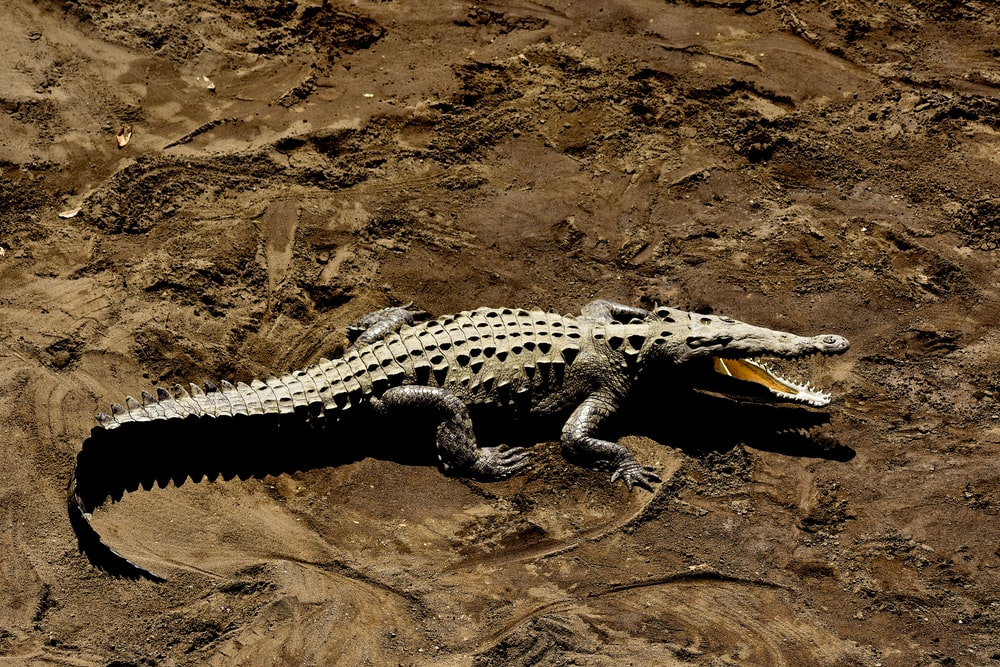 gray alligator at daytime