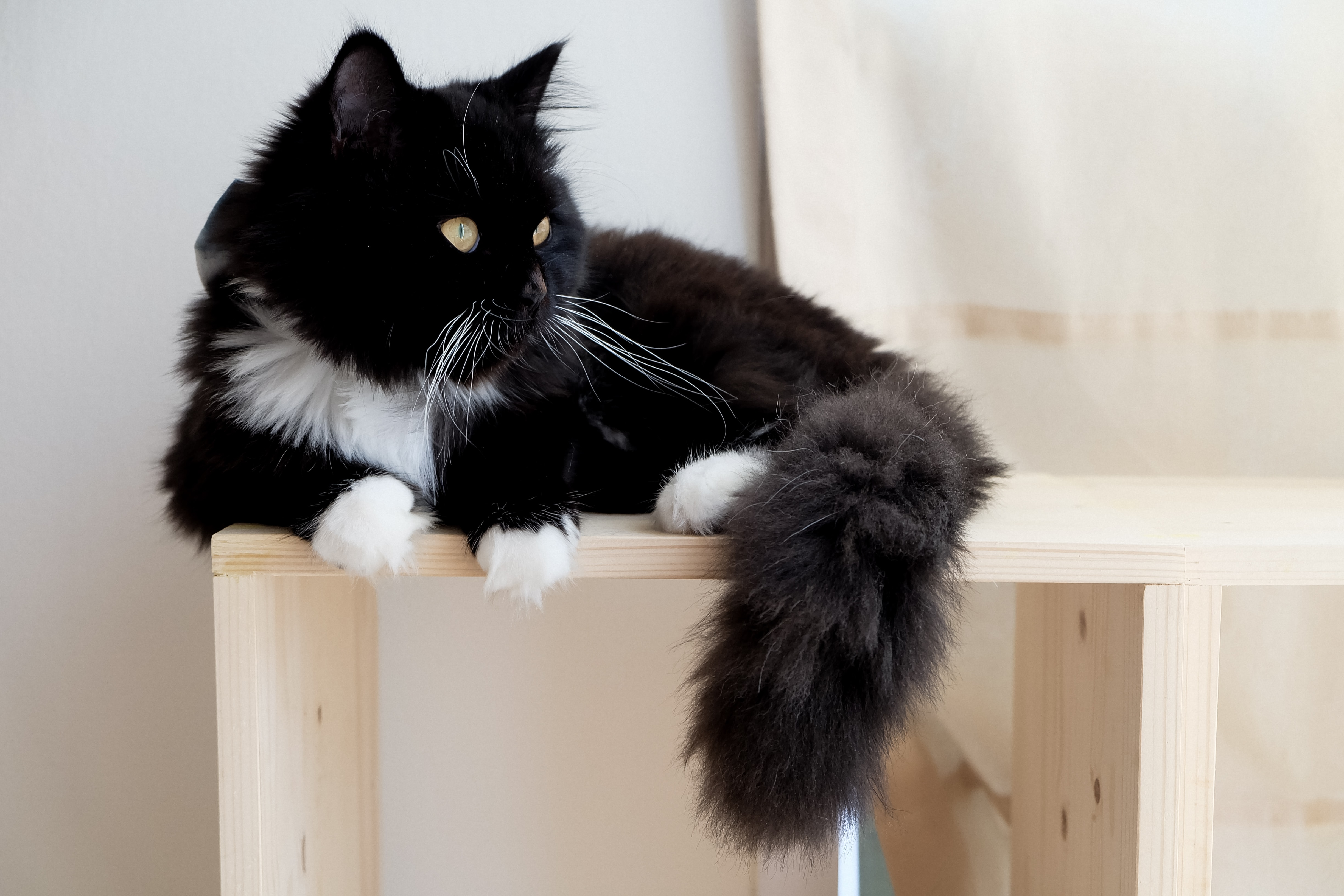 shallow focus photography of tuxedo cat on brown wooden furniture