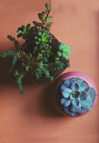 two green and blue succulent flowers