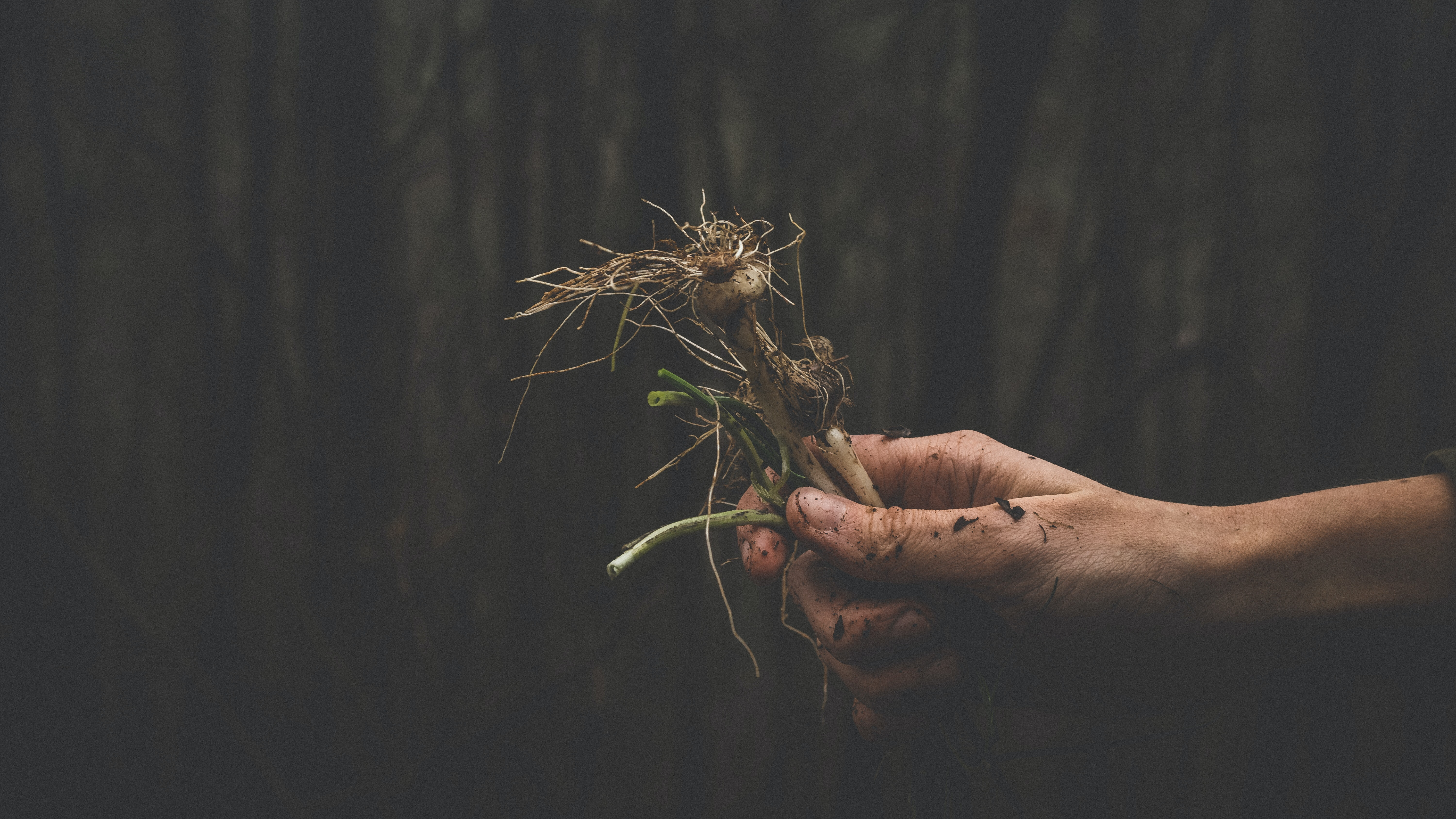 person holding root crop