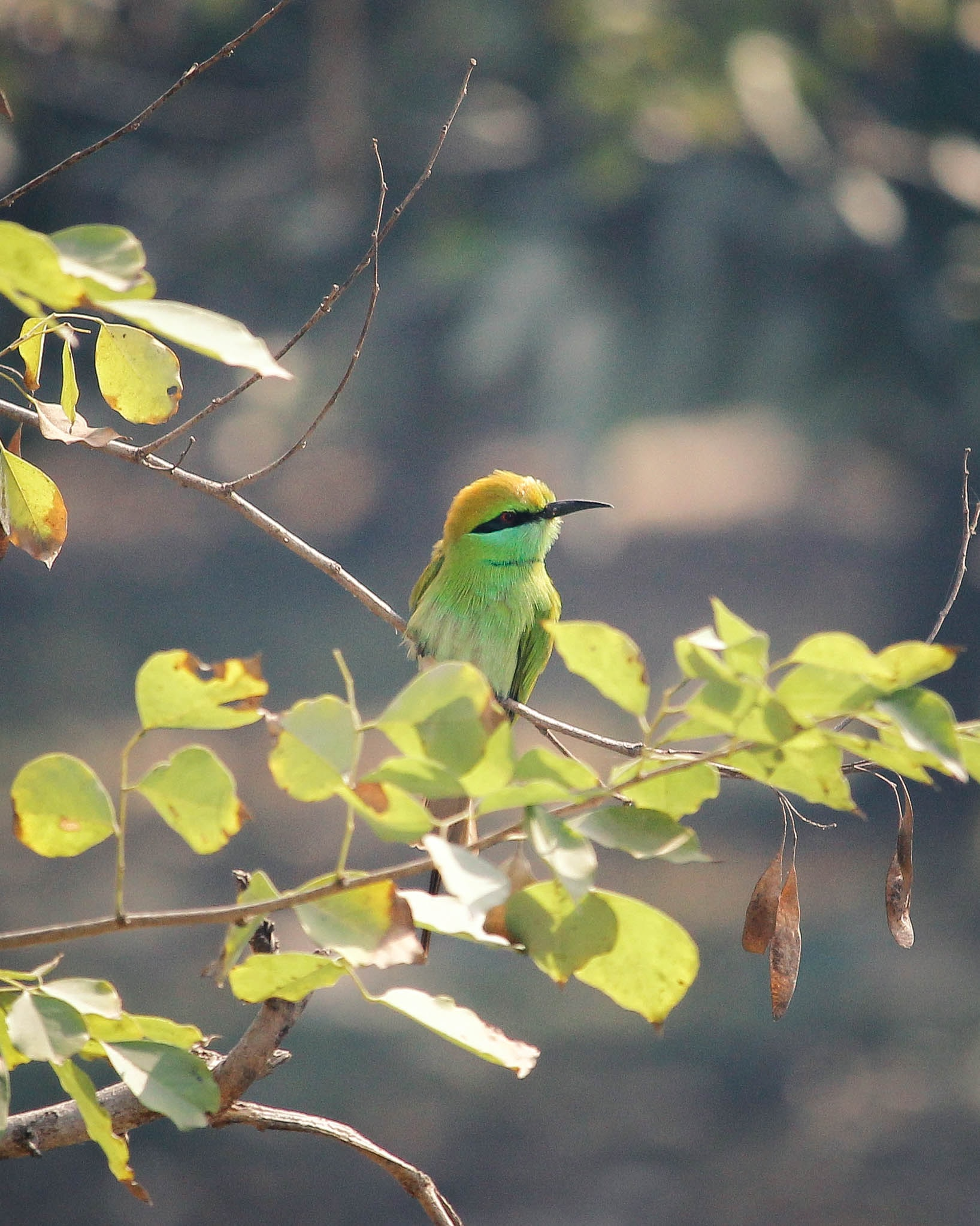 selective focus photography of green and black bee-eater perched on twigs