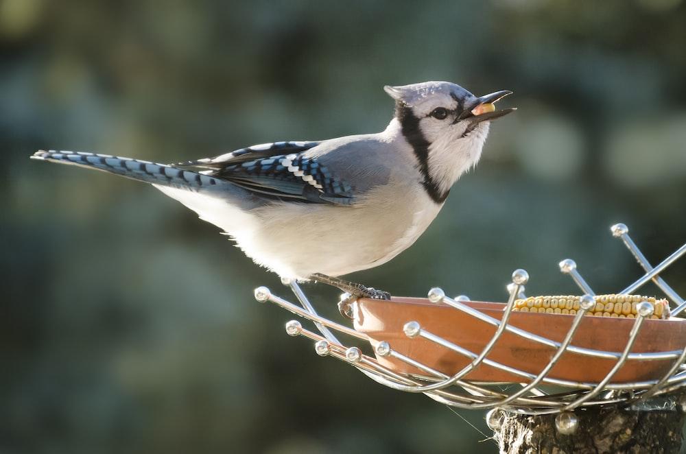 white and blue short-beaked bird