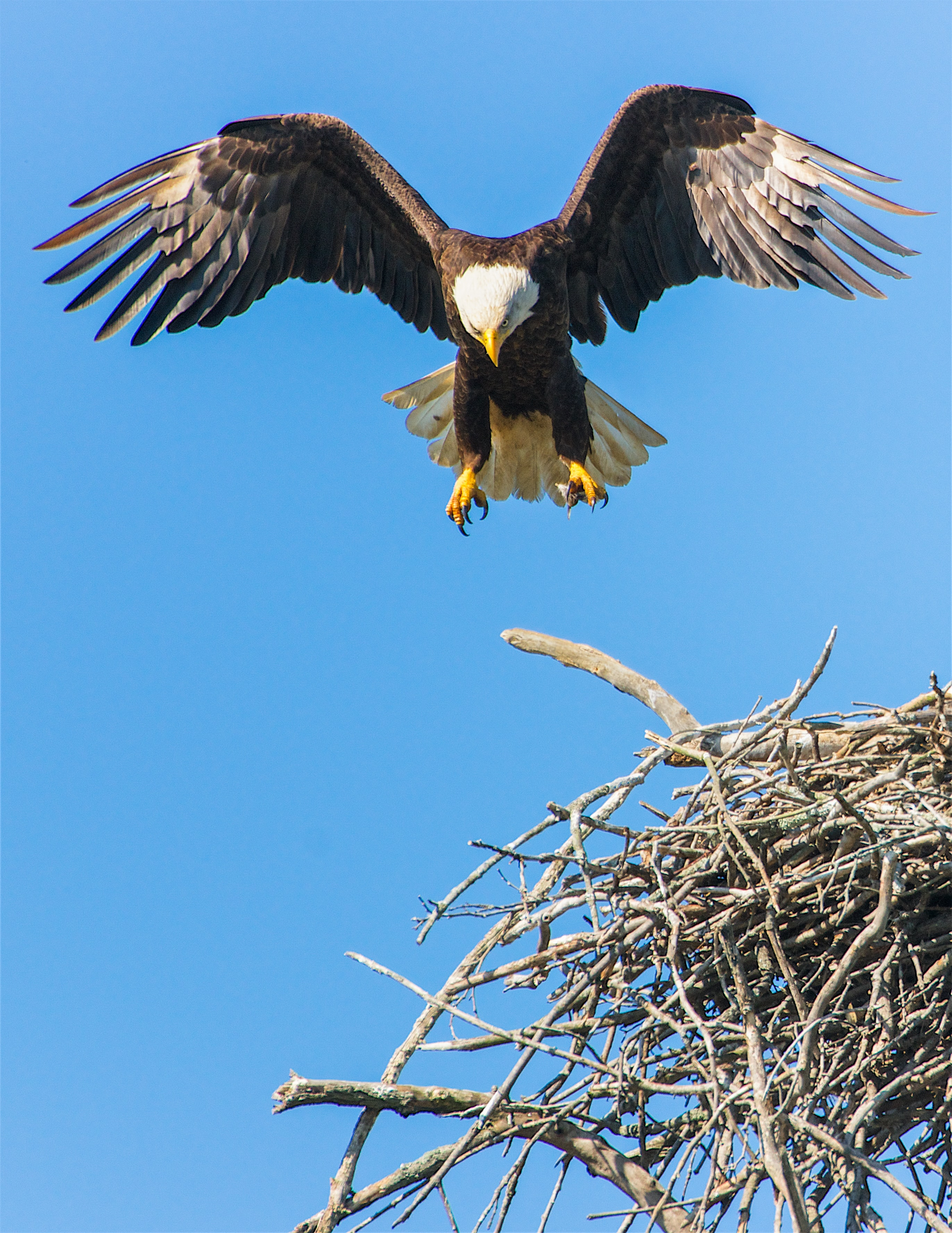 bald eagle flap its wing from nest
