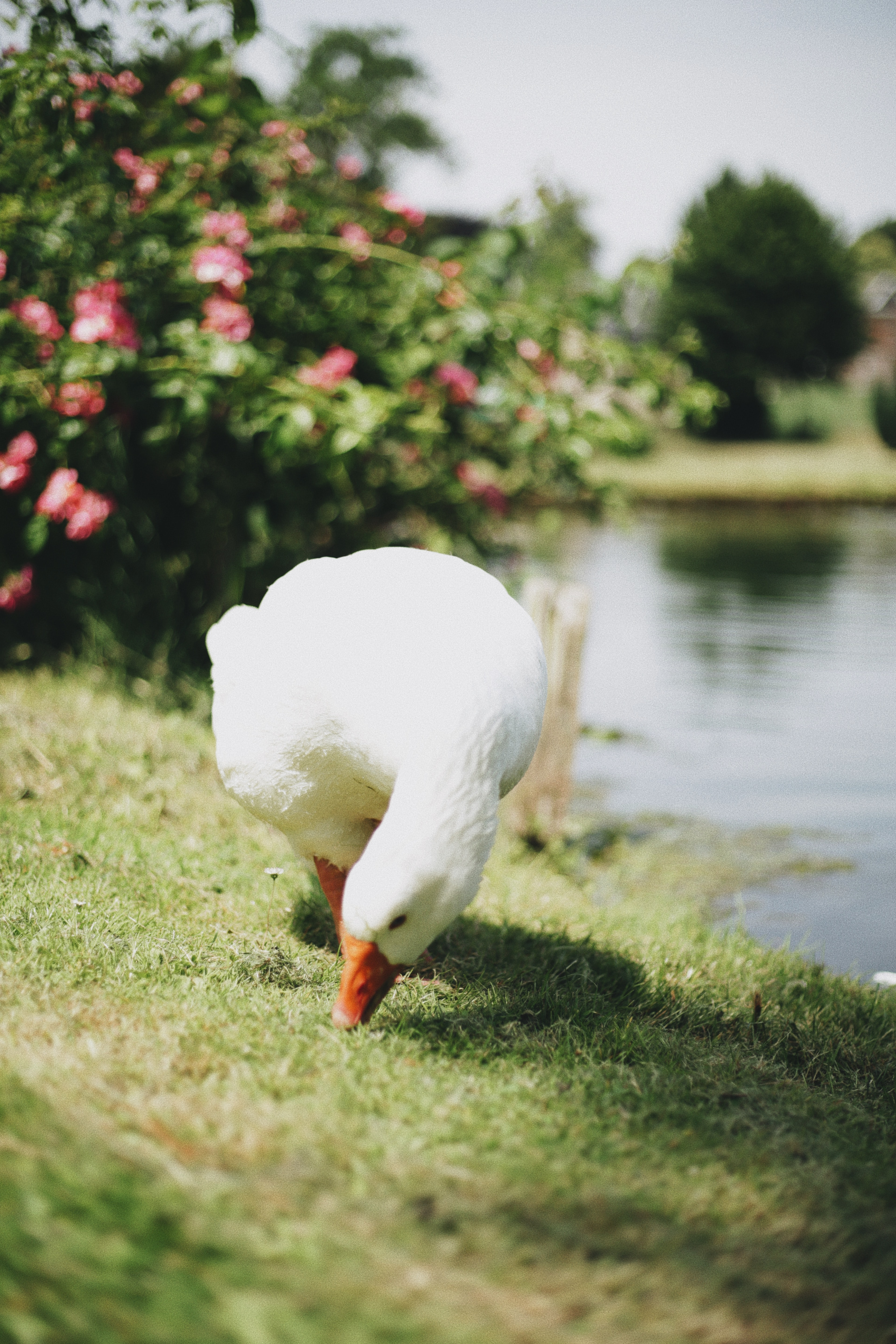 white goose on green grass near body of water