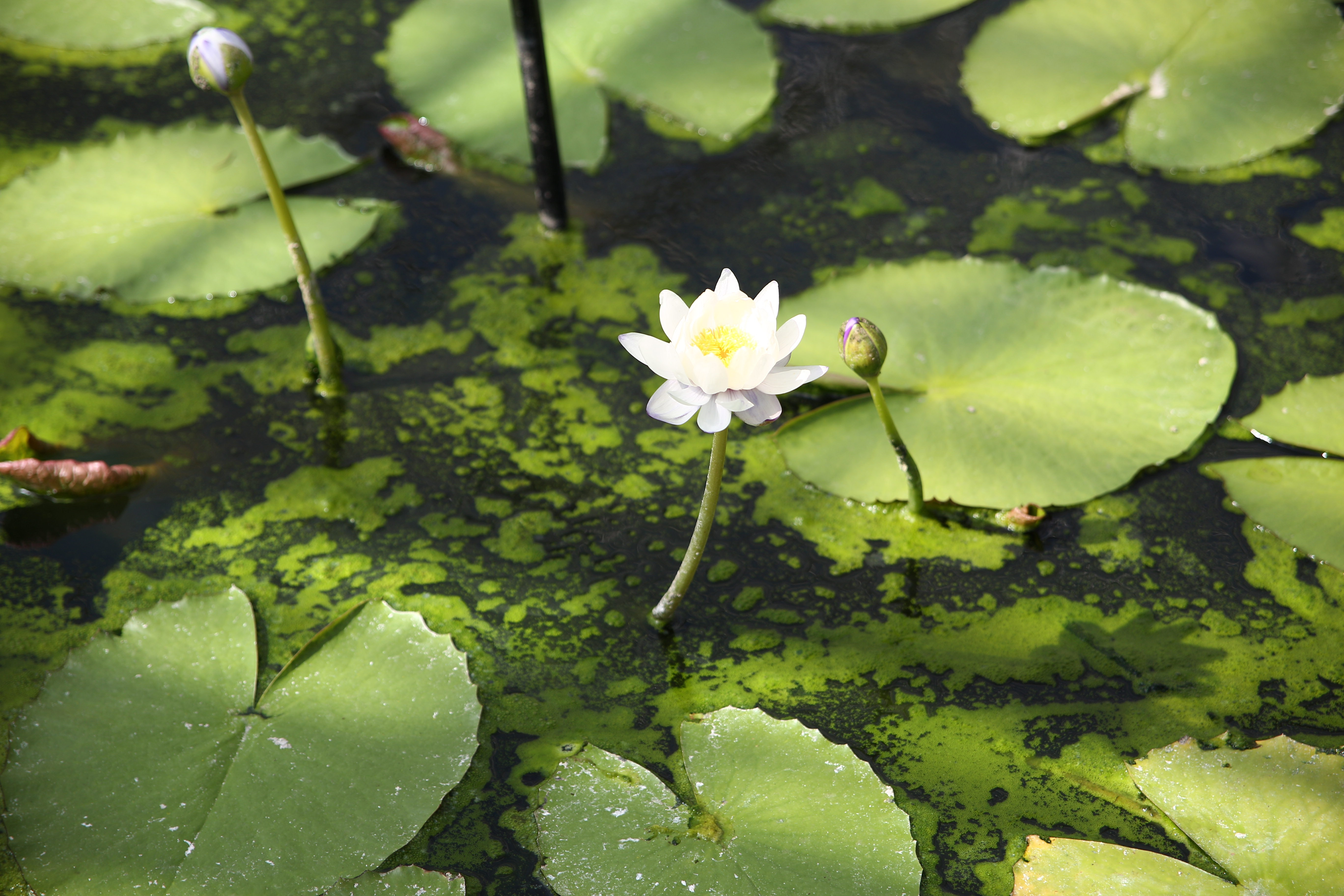white lily with lotus pads
