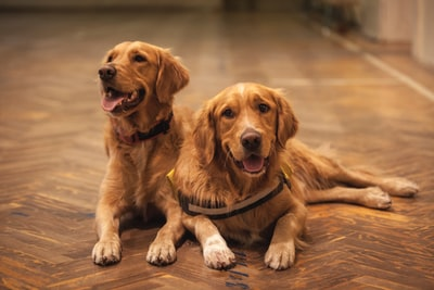Békéscsaba two adult golden retrievers