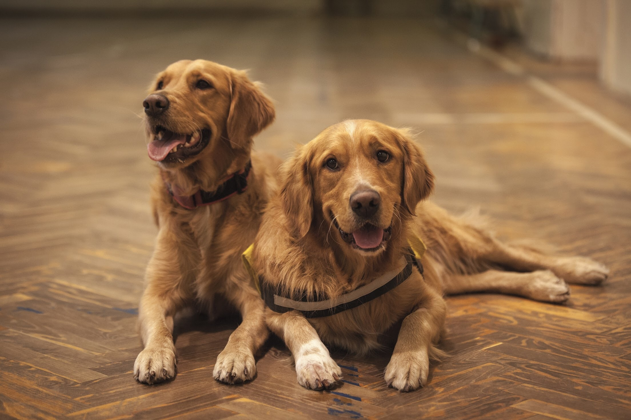 two adult golden retrievers