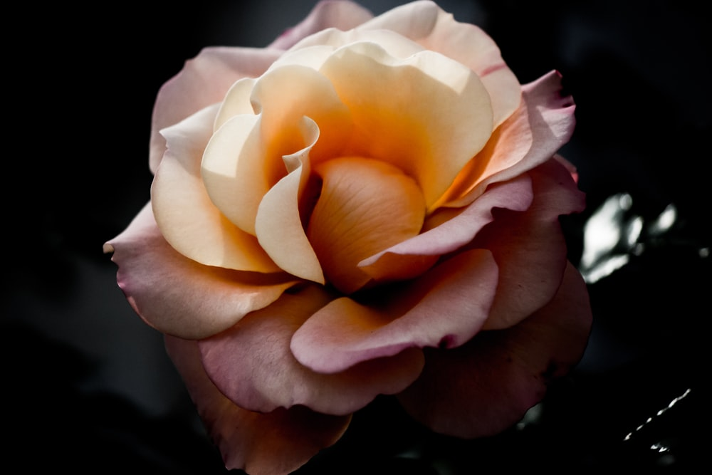 pink flower in chiaroscuro photography