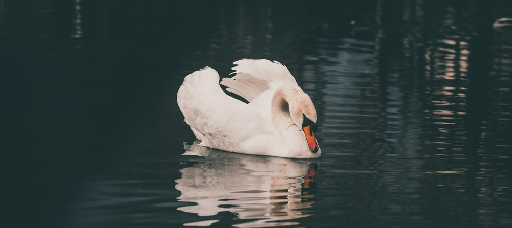 white swan reflected on body of water