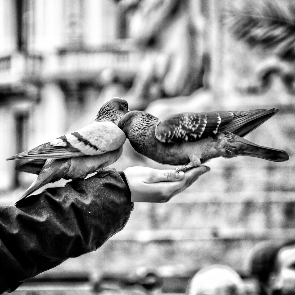 two pigeons on person's and
