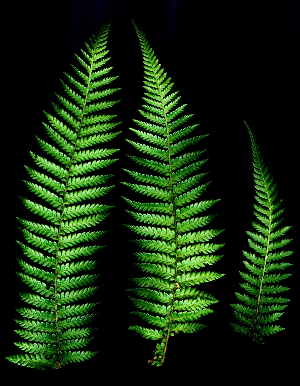 three green fern leaves