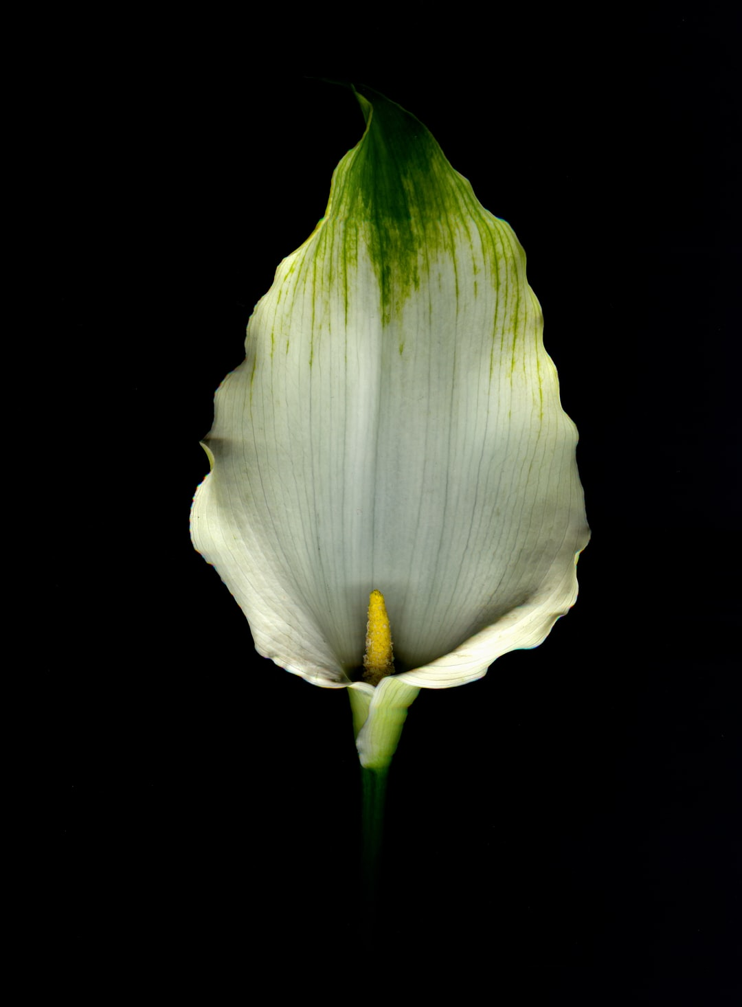 The beautiful, elegant calla lily, oft known as the funeral flower.  This flower is considered a weed here in Tasmania, which is probably why it grows profusely in my garden.  It must feel right at home.