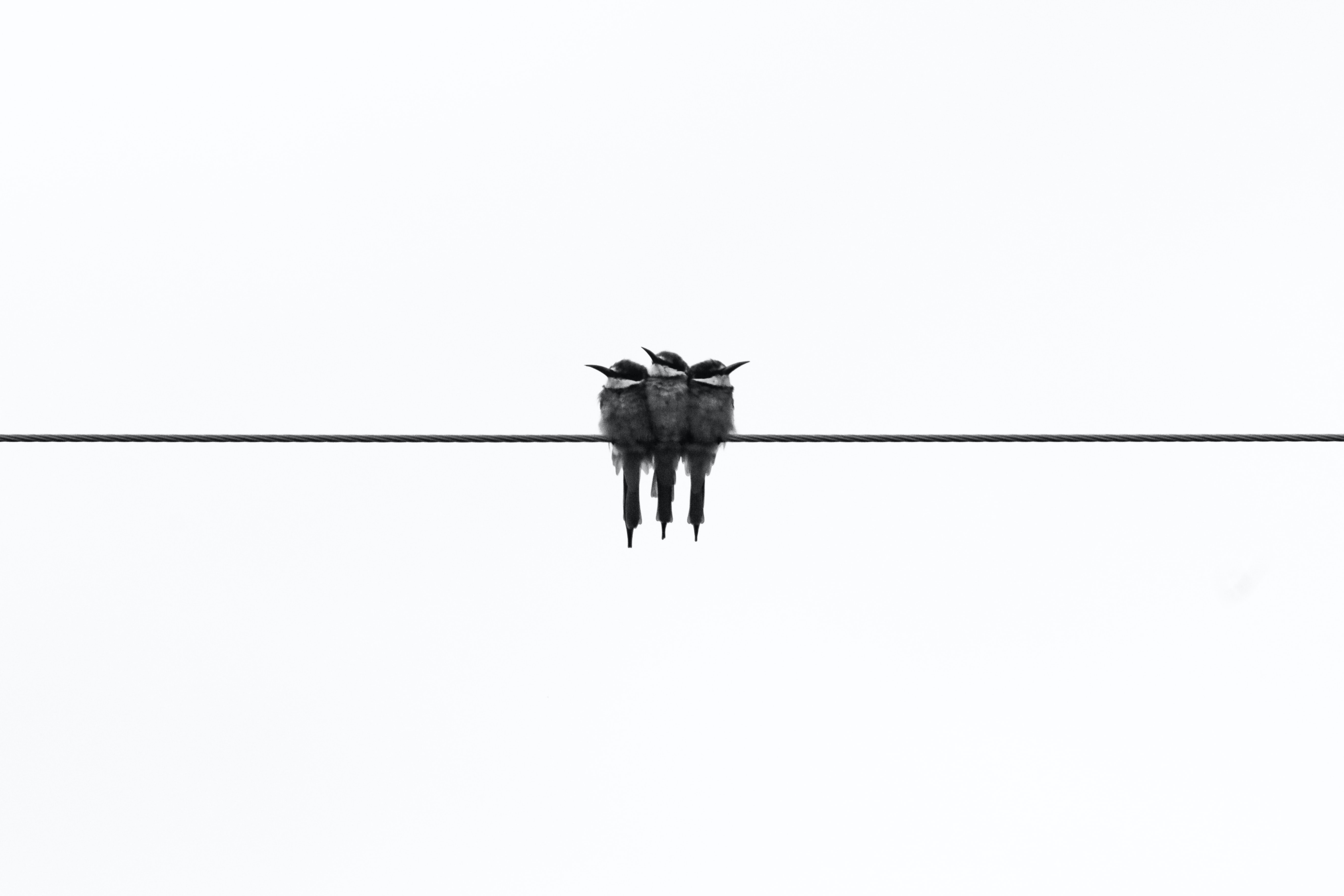 three gray kingfisher birds