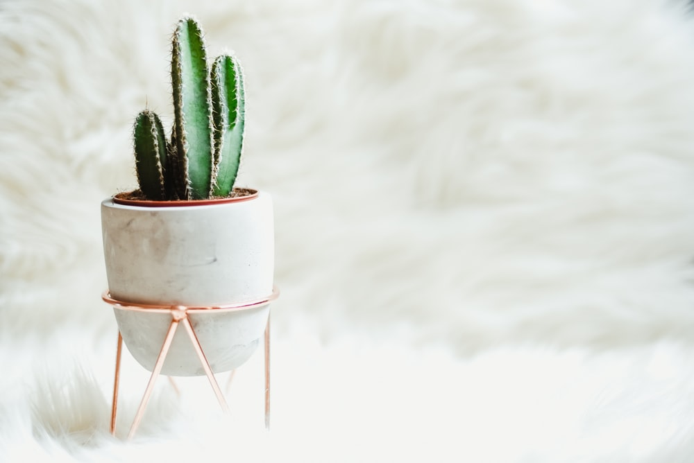 potted green cactus