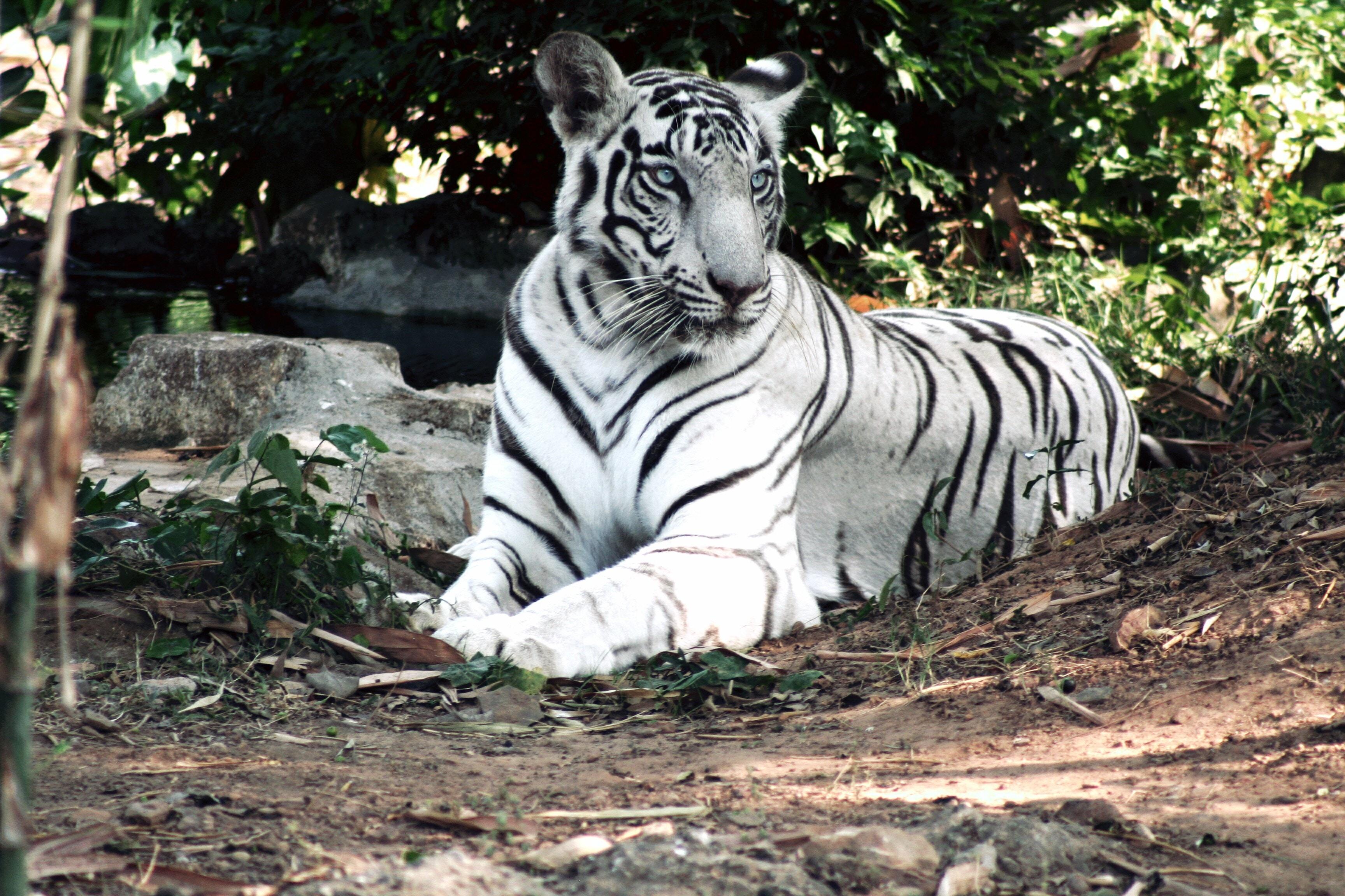 albino bengal tiger lying on ground near green plant