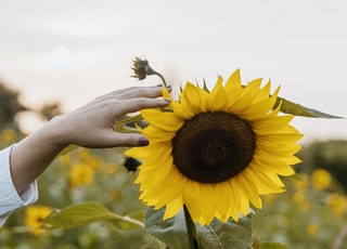 person holding sunflower