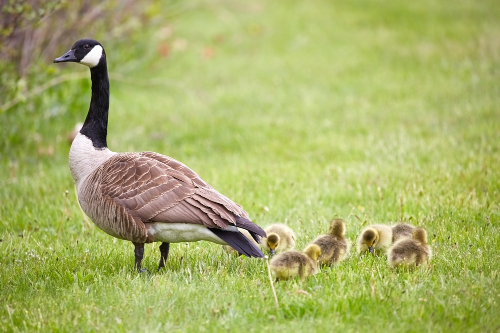 black and brown Canadian Goose with ducklings