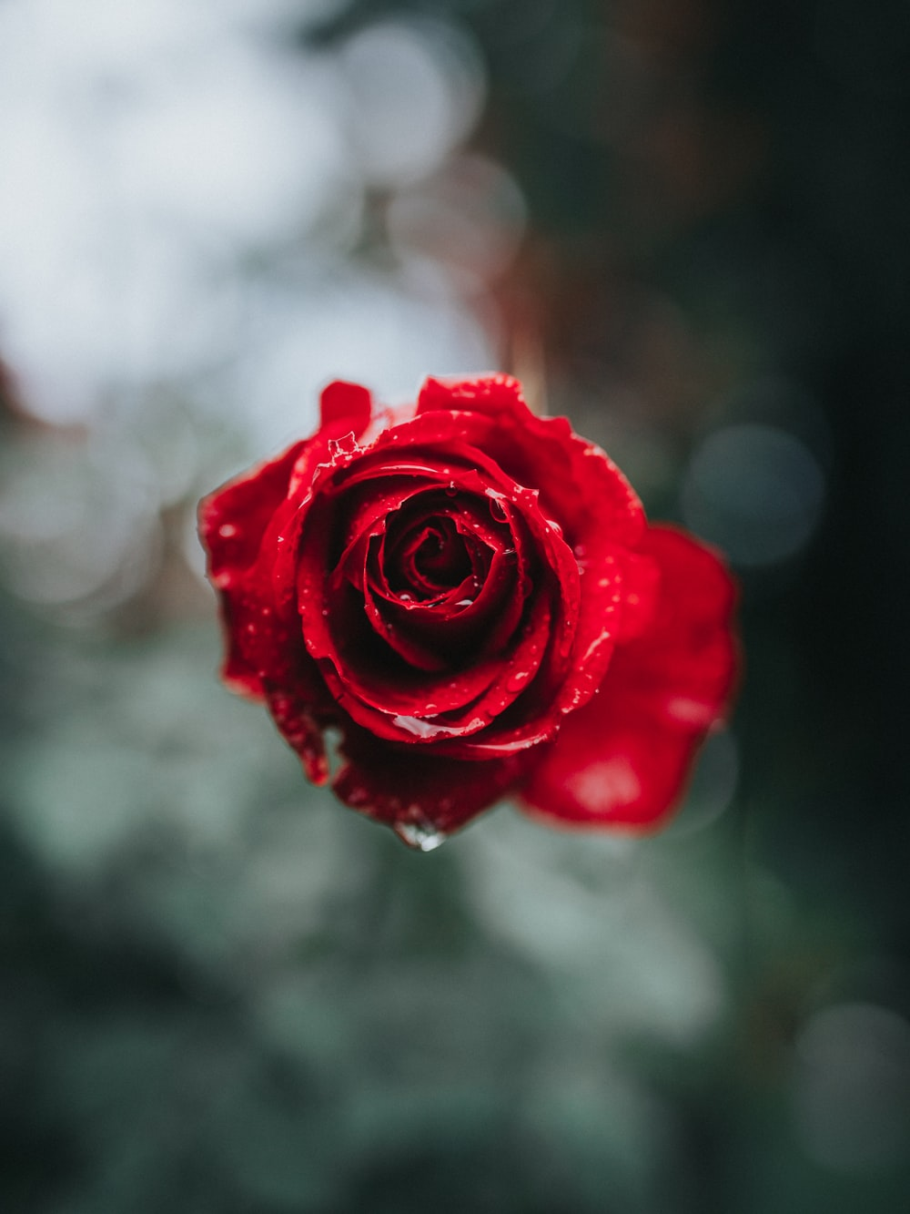 red rose in selective focus photography