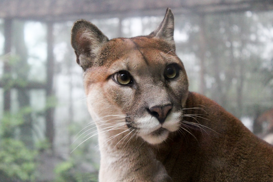 This puma was captured at Peace Lodge, La Paz Waterfall Gardens in Costa Rica.