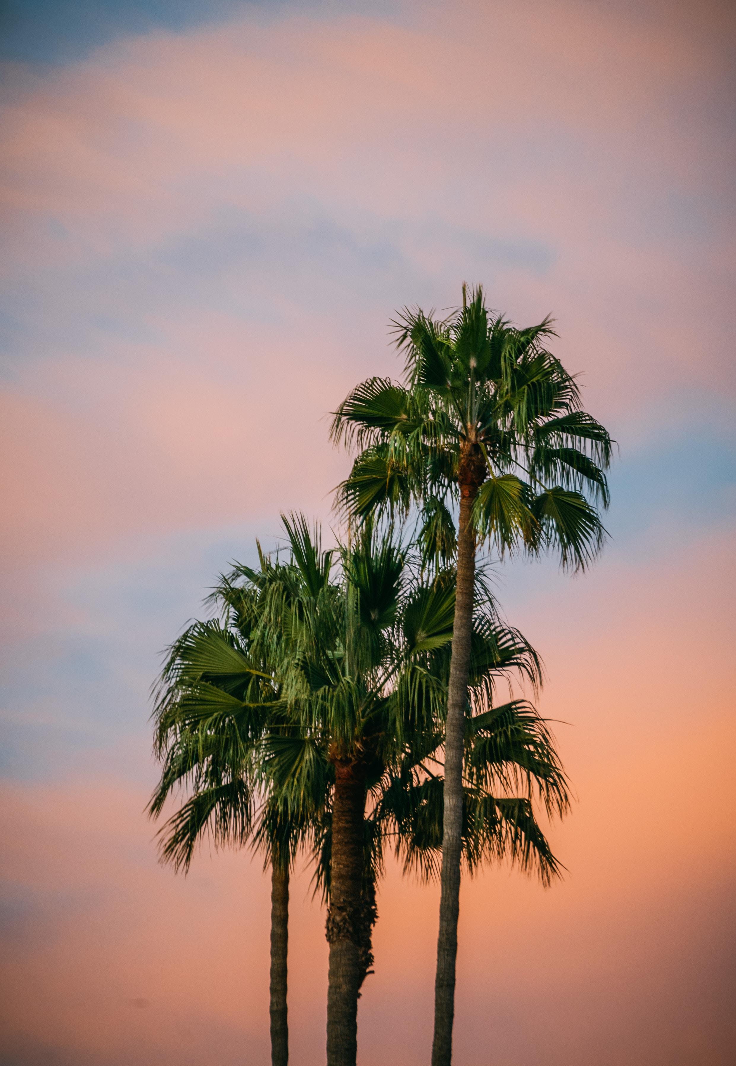 low-light photo of three fan palm trees