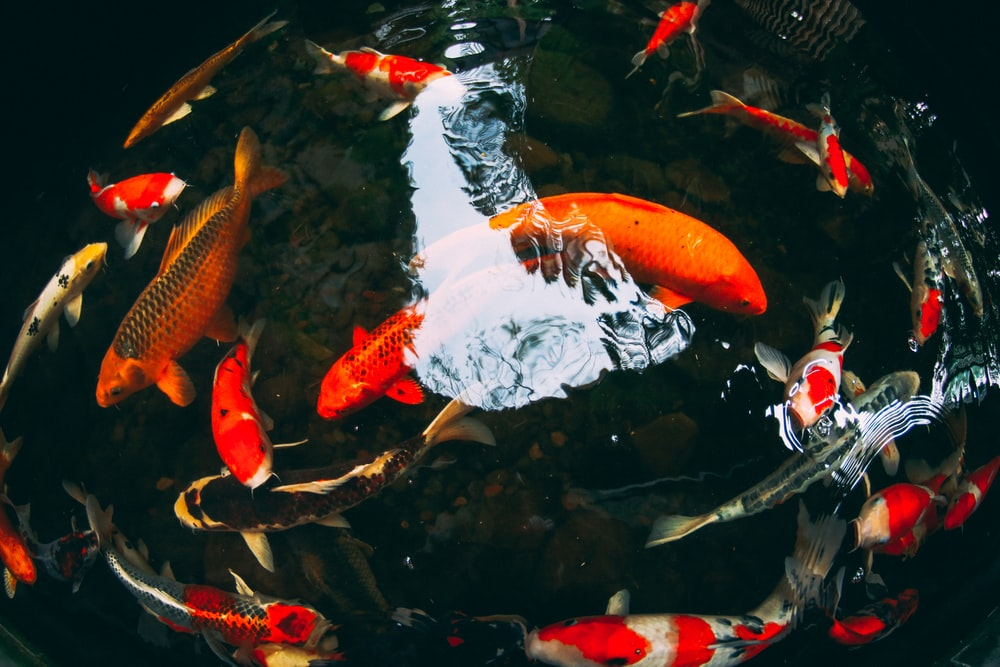 red and orange fish lot