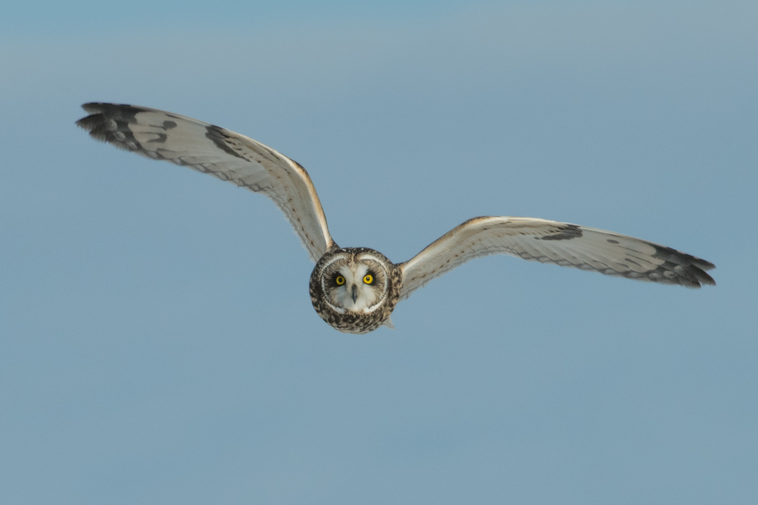 flying white and black barn owl during daytime