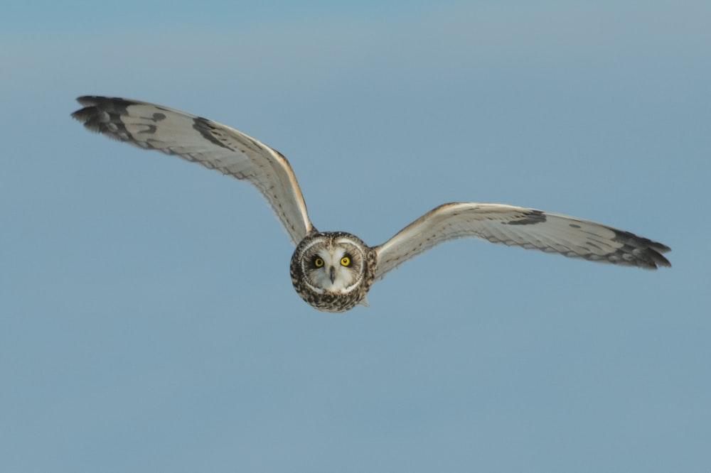 flying white and black barn owl during daytime