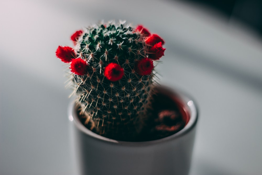 close-up photography of green cactus with red flowers