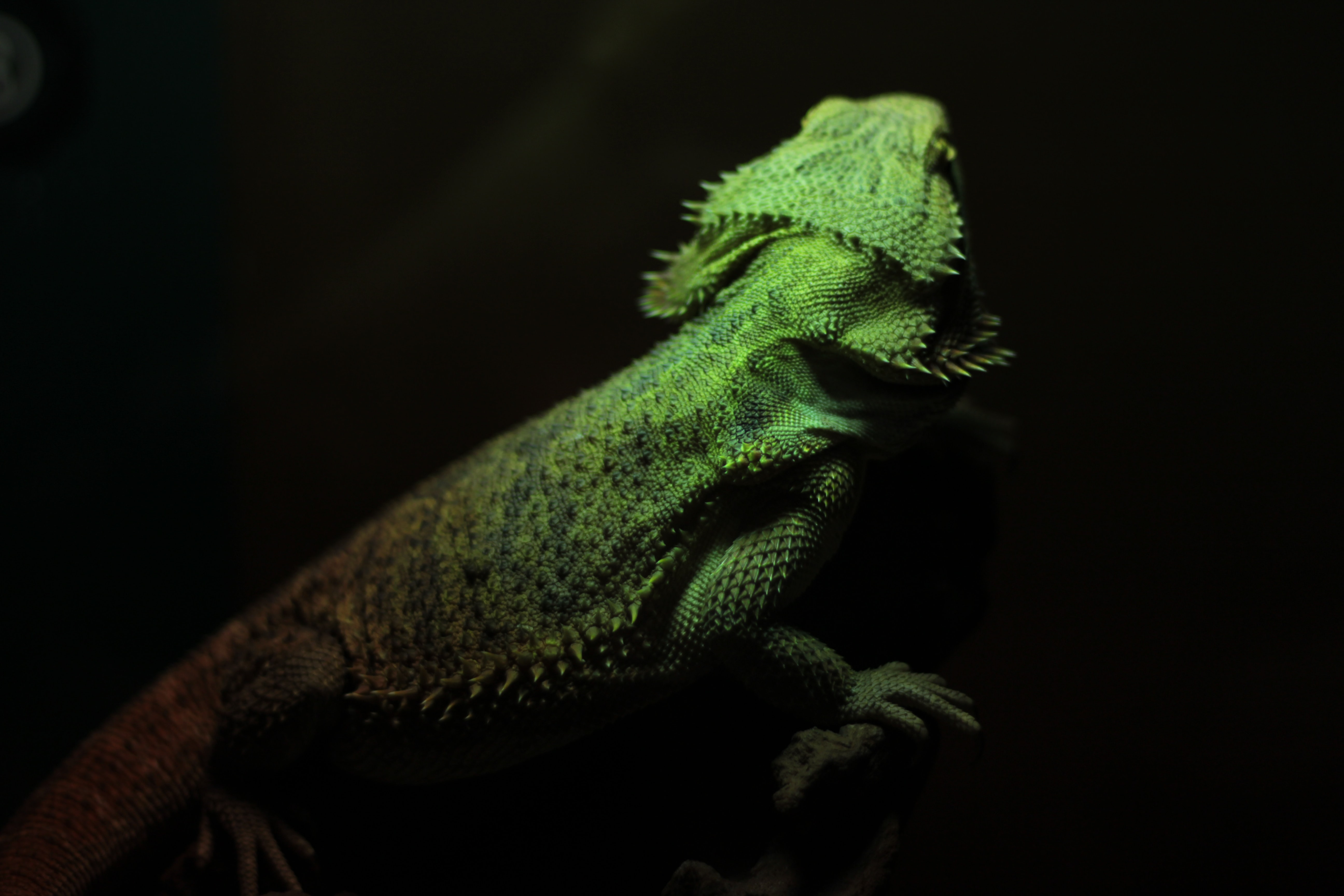 green bearded dragon shallow focus photography