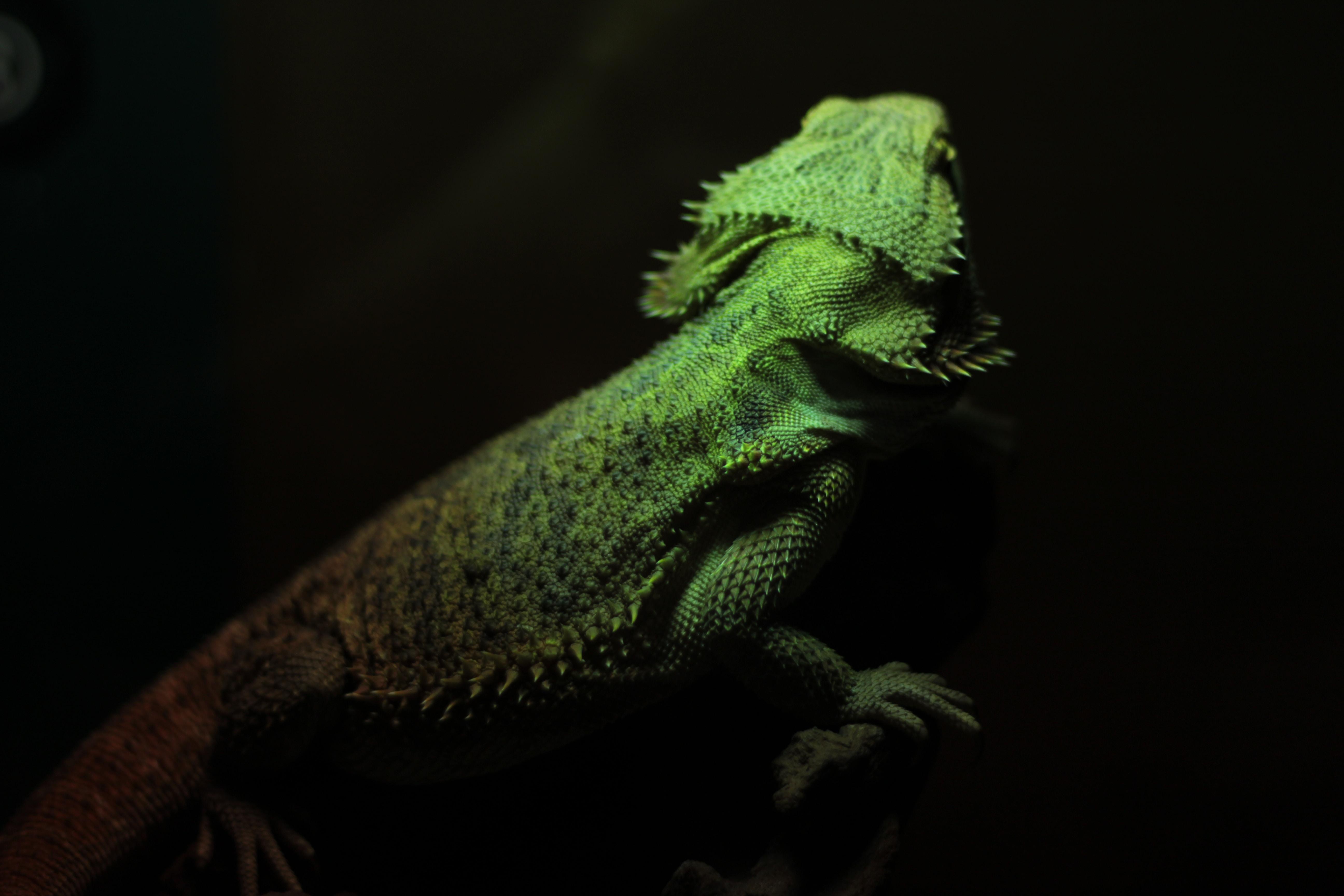 green bearded dragon shallow focus photography