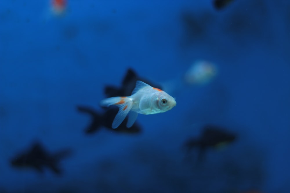 focus photo of white and orange fish
