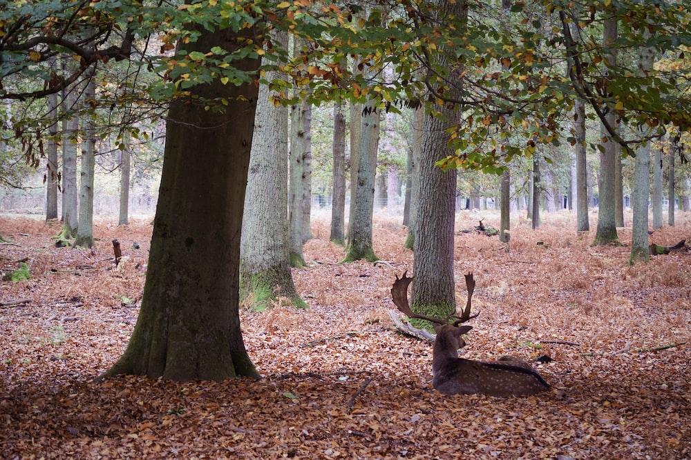 deer lying on dried leaves under trees