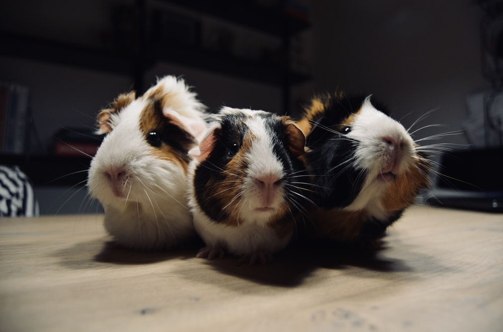 three tri-color guinea pigs on brown surface