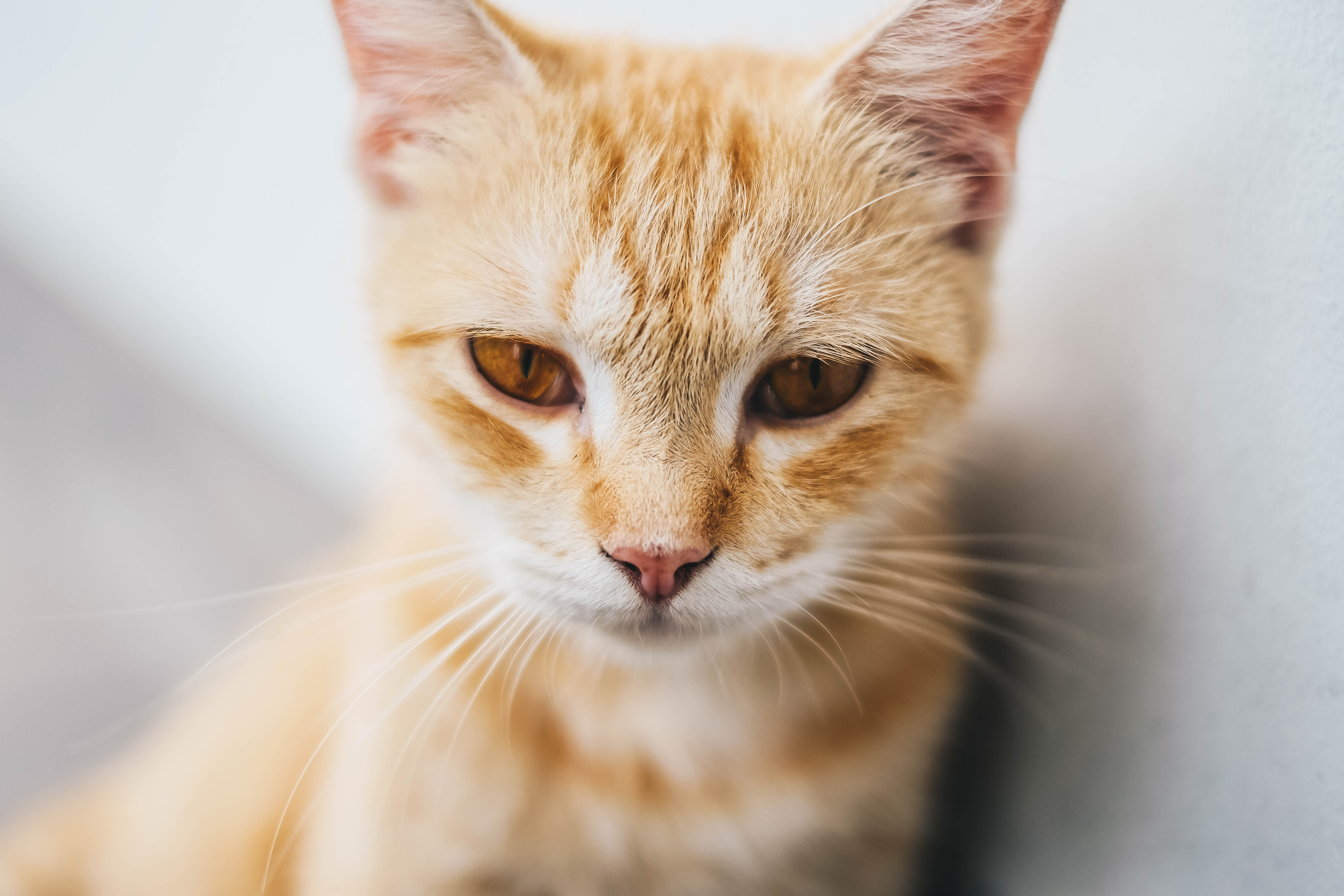 orange tabby cat in macro photography