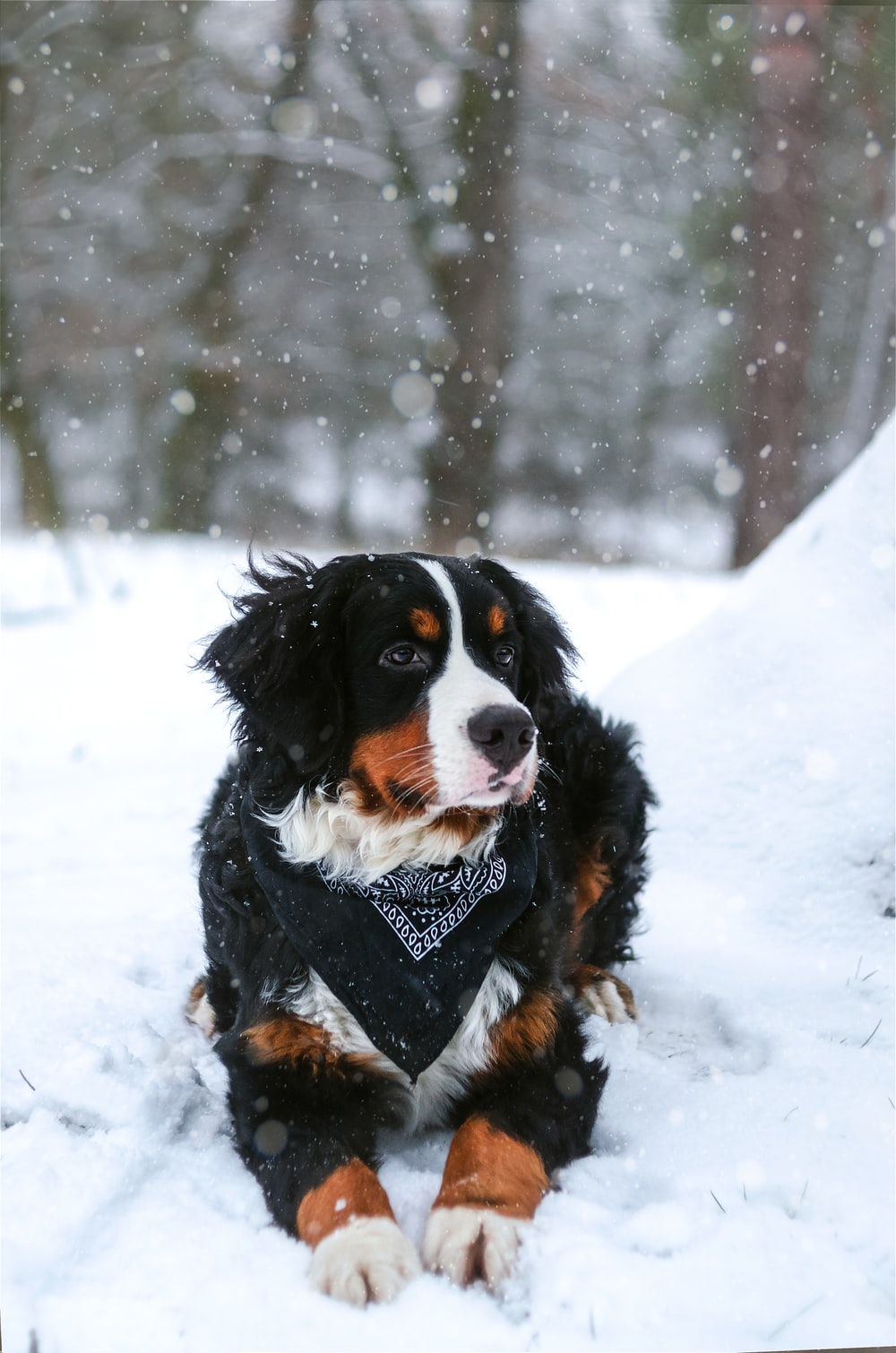 black, tan, and white dog resting on snow covered land