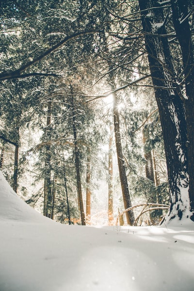 Rays of sunshine were hitting the fresh snow powder on the bows of these Hemlocks, Pennsylvania's state tree.  Check out my other work search Donnie Rosie