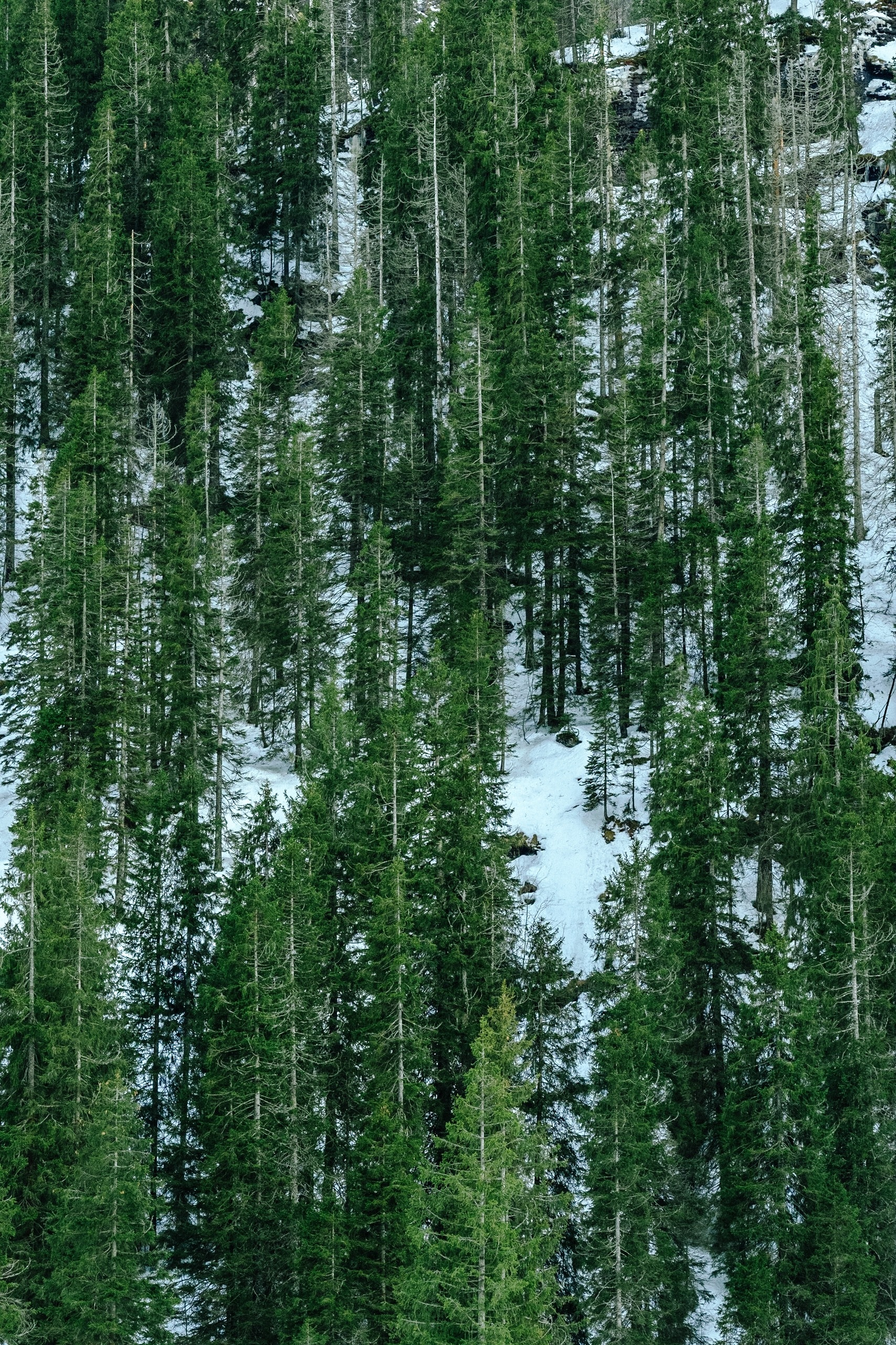 pine trees on snowy mountain