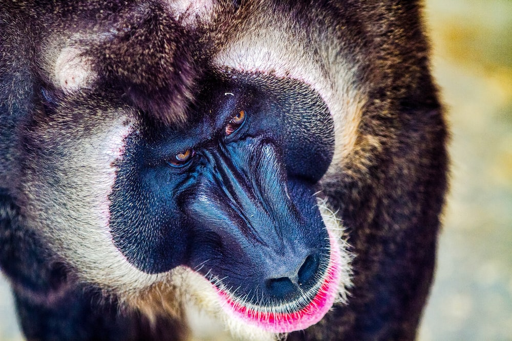 close up photo of baboon