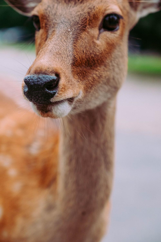 photography of brown doe deer