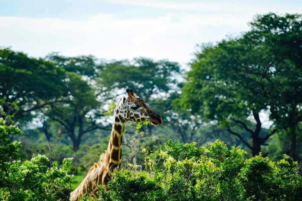 giraffe eating green leaves during daytime