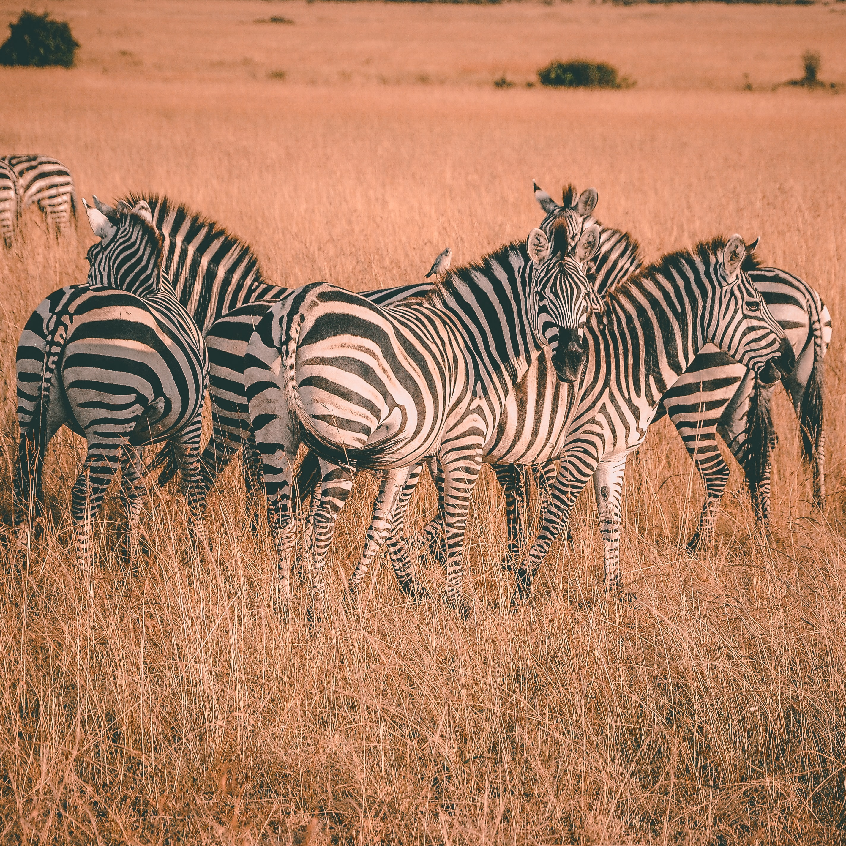 herd of zebras during daytime