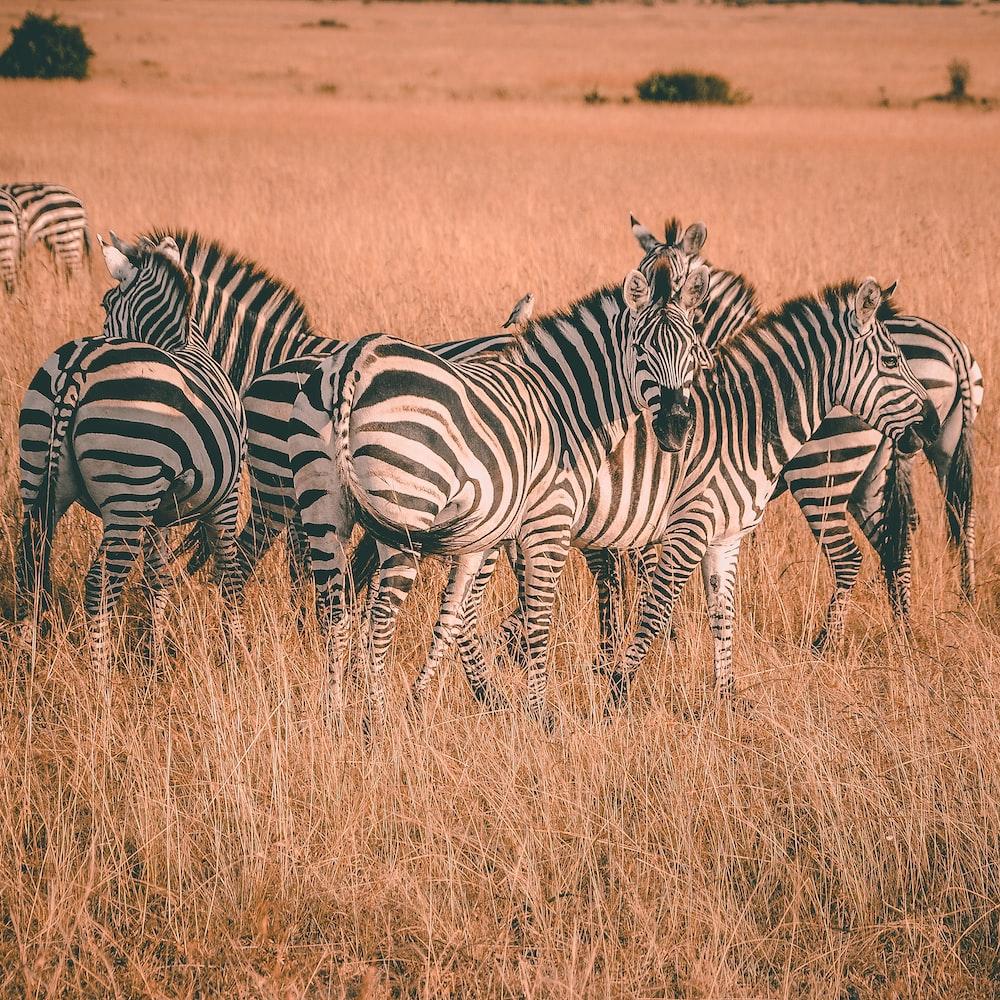 herd of zebras during daytime
