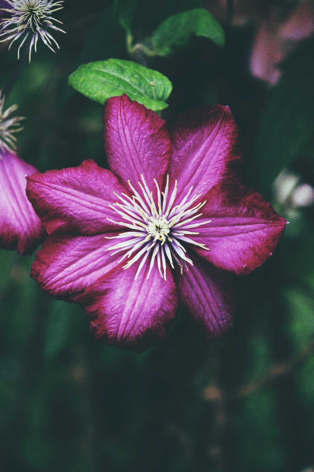 purple petaled flower with white pollen