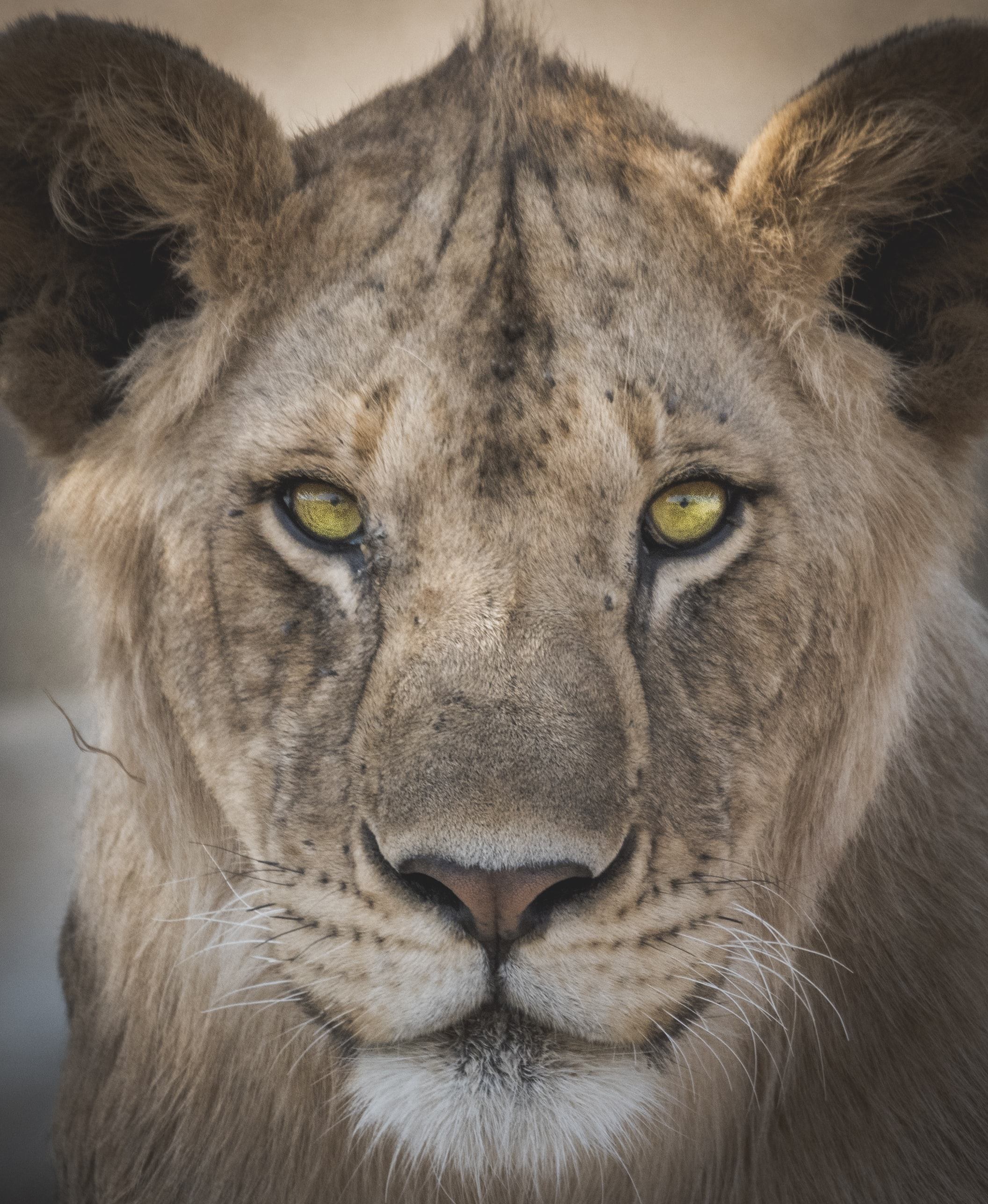 lioness closeup photography