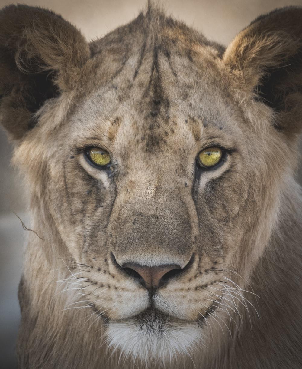 lioness closeup photography