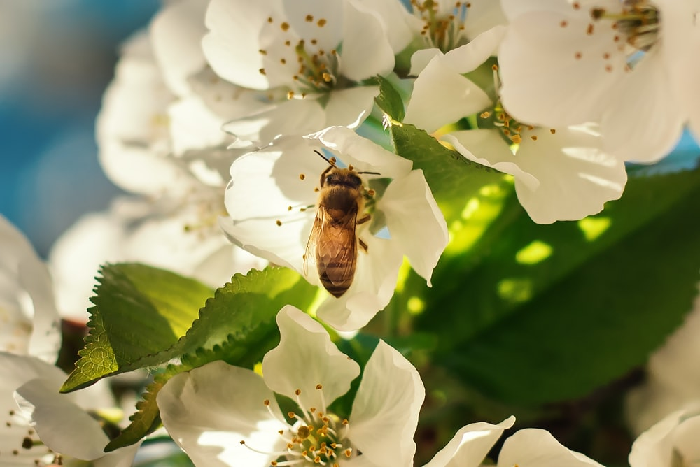 brown bee perching on white petaled flowers during daytime