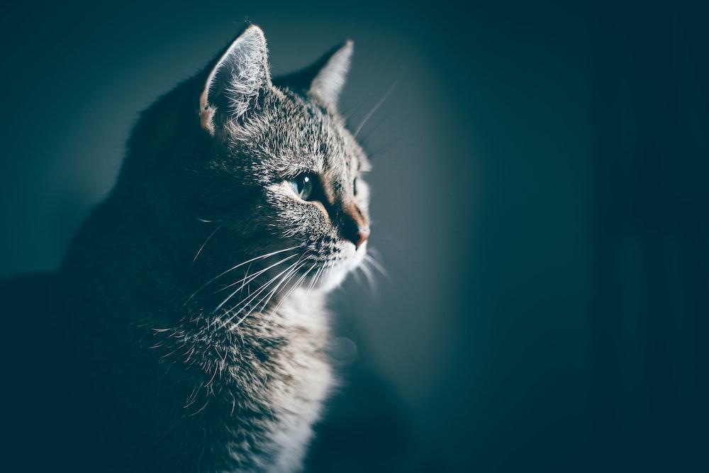 close-up photo of gray cat